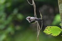 エナガさんたち - 鳥と共に日々是好日
