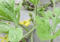 お日様が恋しい畑の野菜と一ヶ月遅れの梅漬け - 光さんの日常