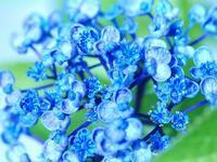 名残りの紫陽花 - 南都☆花模様