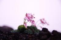 梅雨の晴れ間の山登りその2秋田駒花めぐり - 888WebLog