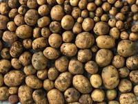 ジャガイモの収穫と - 操の気まぐれ日記