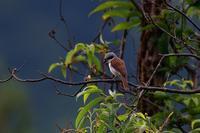 チゴモズ - ごっちの鳥日記