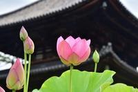 蓮と桔梗の咲くお寺喜光寺・元興寺 - 峰さんの山あるき