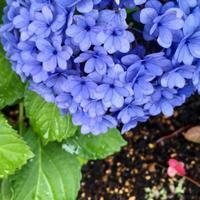 小さな紫陽花^_^v - ~おざなりholiday's^^v~ <フィルムカメラの写真のブログ>