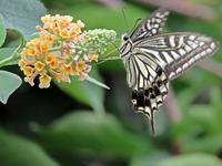蝶のきて連ていにけり庭のてふ一茶 - 丙丙凡凡(蛙声diary)