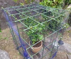 ブルーベリーの鉢植えその3 -