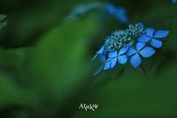 ヤマアジサイ - Aruku