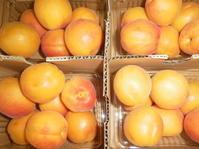 今年も杏。 - rhizome2-地下茎-