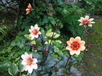 あさがお - だんご虫の花