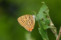 高島市のゼフ探索(2019/06/09) - Sky Palace -butterfly garden- II