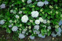 気温18℃で☁・・・庭の紫陽花が見ごろに朽木小川・気象台より - 朽木小川・気象台より、高島市・針畑・くつきの季節便りを!