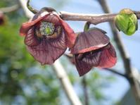ポポーの花の香りはハエに好かれる? - やまぼうし