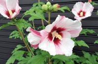 愛らしい夏の花ムーチン - 気楽おっさんの蓼科偶感