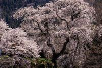 桜咲く奈良2019大照寺跡の枝垂桜 - 花景色-K.W.C. PhotoBlog