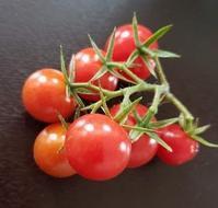 トマト収穫(^^♪ - ヨモギ日記