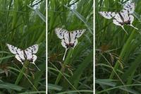 Papillon asiatique, ホソオチョウ夏型出現(2019/07/03・08)荒川 - 里山便り
