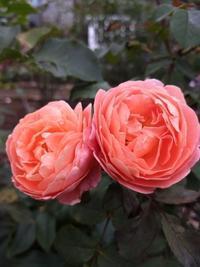 バラと南高梅のらっきょう漬け - Rose&Farm