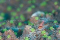 green spot - Diving Life ~Aita pe'a pe'a~