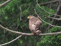 里山でサシバを観察 - コーヒー党の野鳥と自然 パート2