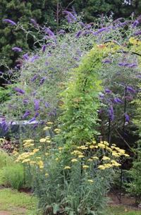 ブッドレアの下でオダマキの種まき♪ - ペコリの庭 *