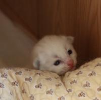 お目目開いたよ~生後10日目&初めてのお散歩ラグドール子猫 - らぐ・らいふ Sweetlapisラグドール日記