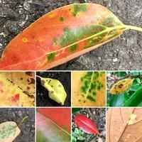 ミドリ日記:夏の落ち葉、夏の紅葉? - pantaya2_カエルの体操