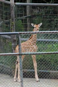 キリンの赤ちゃん「アン」&「ユン」(多摩動物公園) - 続々・動物園ありマス。