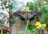 庭にて(ハゲハ蝶) - ひな日記