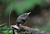 巣から落ちたであろうヒナさん - 鳥と共に日々是好日