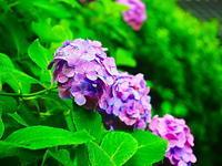 長谷寺紫陽花 - 風の香に誘われて 風景のふぉと缶