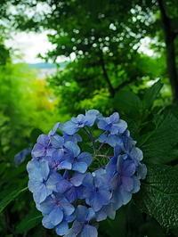 長谷寺紫陽花Ⅱ - 風の香に誘われて 風景のふぉと缶