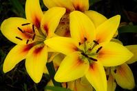 黄色星 - ノッツォのホデナス