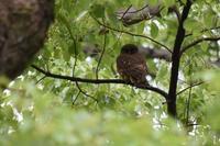 京都御苑の野鳥 - 鹿深の森