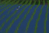 セイタカシギ(迷鳥) - 心のままに