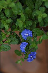 雨色のブルー - (=^・^=)の部屋 写真館