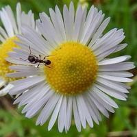#アリ #キク科  『花 と 蟻』 - 自然感察 *nature feeling*