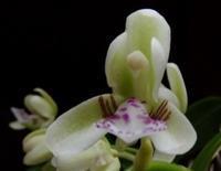 #ラン科 『名護蘭』 Sedirea japonica - 自然感察 *nature feeling*