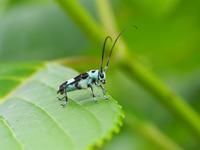 アジサイとラミーカミキリとオオカマキリの幼虫Byヒナ - 仲良し夫婦DE生き物ブログ