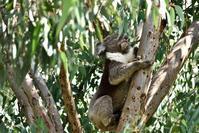 天王寺動物園のコアラ、長生きしてね - 白雪ばぁばのかんづめ
