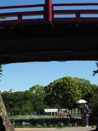 小田原城址公園の花菖蒲 - belakangan ini