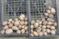 20190711 【家庭菜園】ジャガイモ - 杉本敏宏のつれづれなるままに