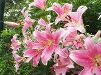 フレグラントガーデンのユリが見頃です - 神戸布引ハーブ園 ハーブガイド ハーブ花ごよみ