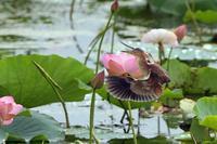 蓮の花とヨシゴイ - 比企丘陵の自然