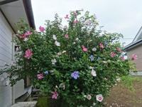 木槿 - だんご虫の花