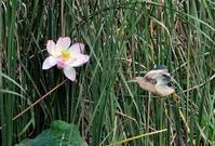 ヨシゴイの給餌 - 私の鳥撮り散歩