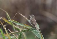 オオヨシキリを調整池で - 私の鳥撮り散歩