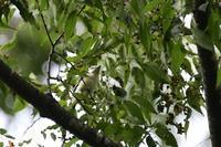 サンショウクイ巣立ち雛 - 新 鳥さんと遊ぼう