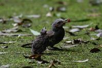 巣から・・・ヒヨドリのヒナさん - 鳥と共に日々是好日