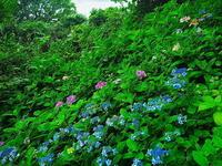 長谷寺紫陽花Ⅳ - 風の香に誘われて 風景のふぉと缶