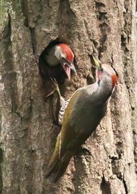 アオゲラ - くまさんの鳥撮り